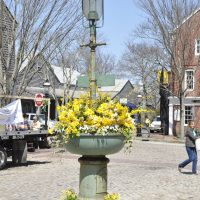 Nantucket_Daffodil_Flower_Show